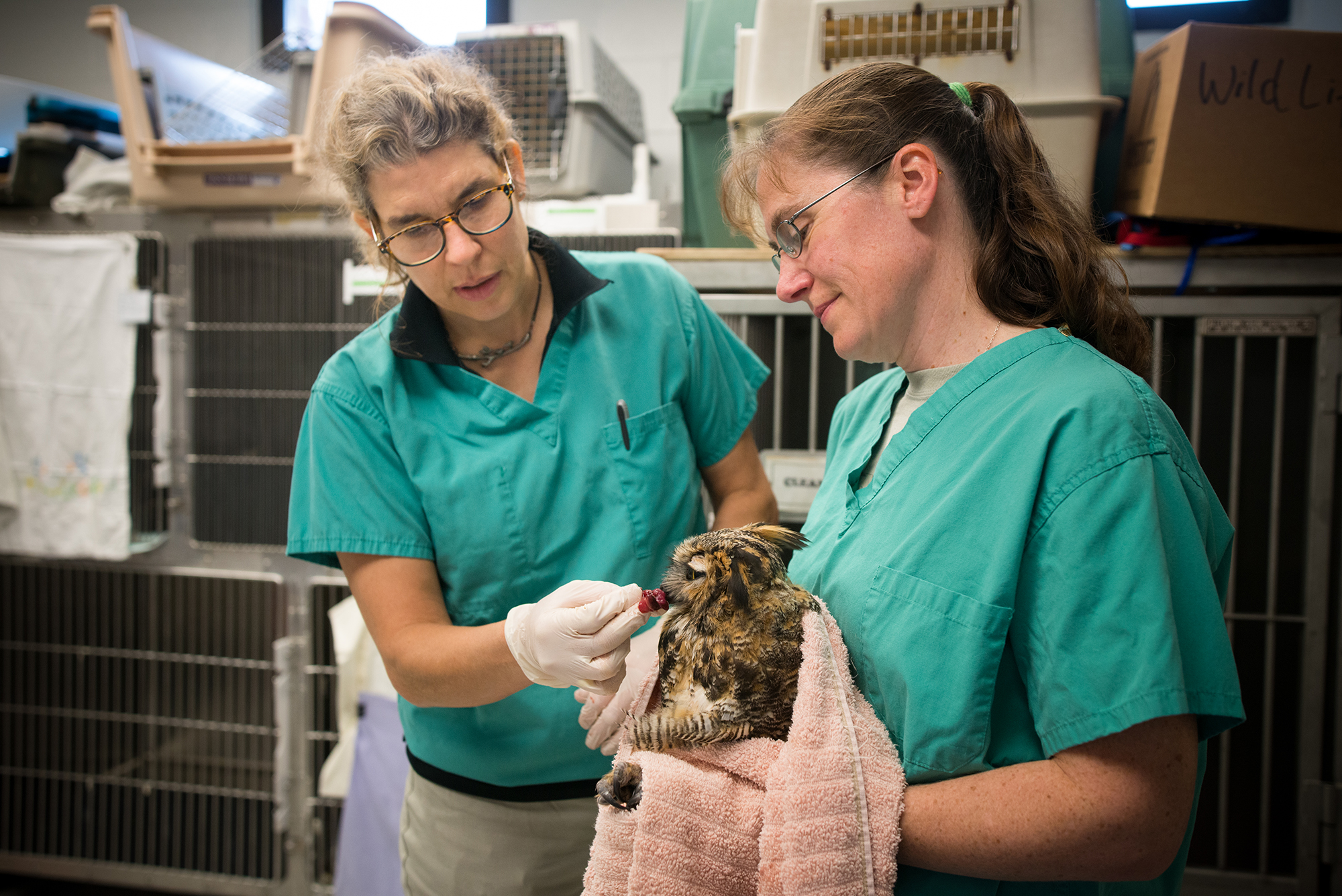 LVTs Alice VandeMark and Tina Hlywa feed a great horned owl at the Janet L. Swanson Wildlife Health Center.