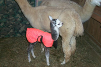 Cria in coat