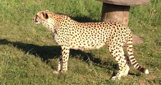 Profile photo of cheetah