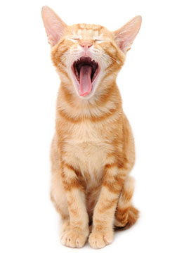 Orange kitty yawning