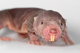 photo of a naked mole-rat