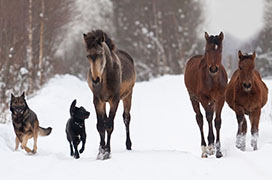 Horses and dogs running in snow