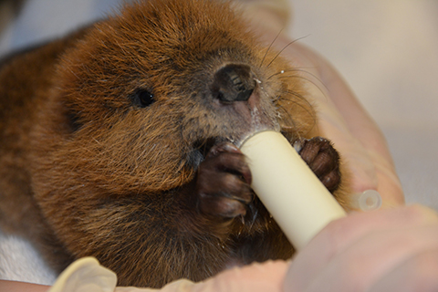 Rescued baby beaver
