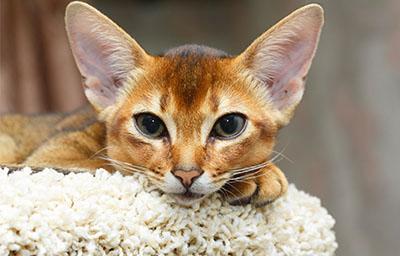 Feline Vaccines: Benefits and Risks | Cornell University College of