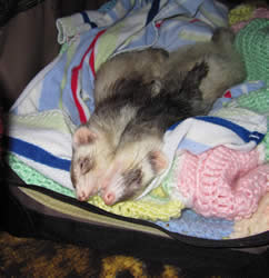 Two ferrets sleeping in blankets