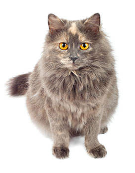 gray long-haired overweight kitty