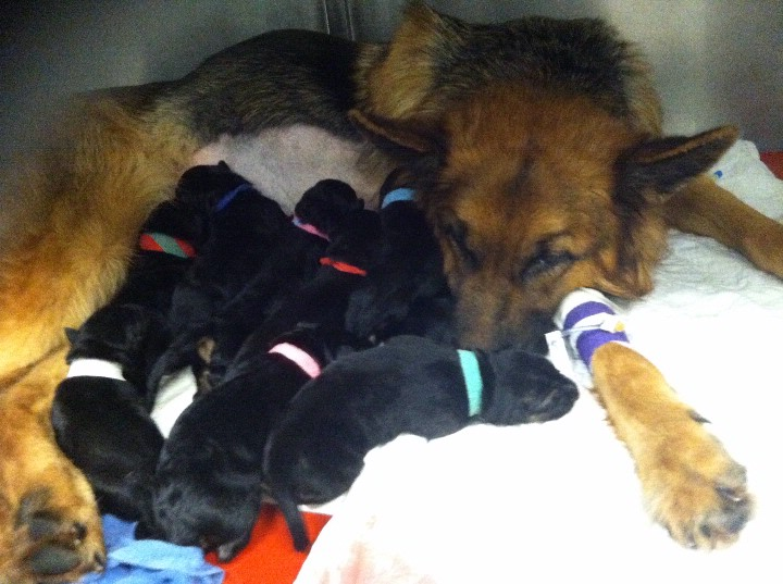 puppies delivered via emergency c-section