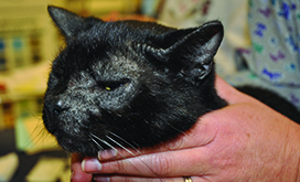 Feline Skin Diseases Cornell University College Of