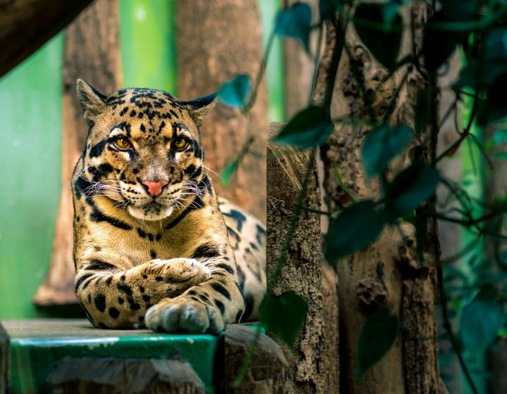 Clouded leopard in a zoo